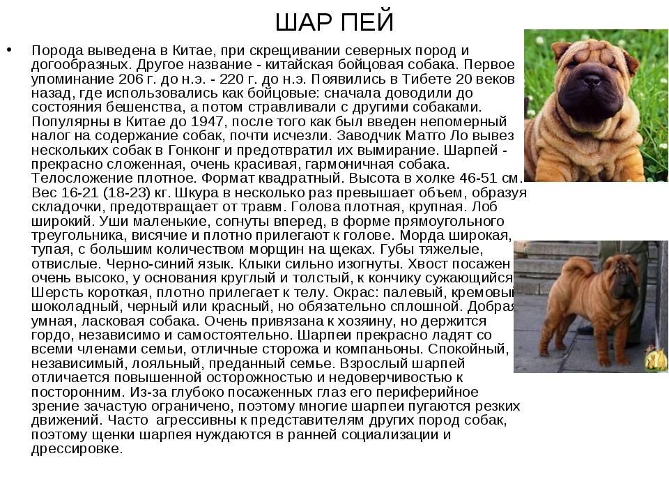 Шарпей: фото и виды взрослой собаки, как выглядит большой медвежка, а также белый, серый, бежевый, европейский и немецкий питомец