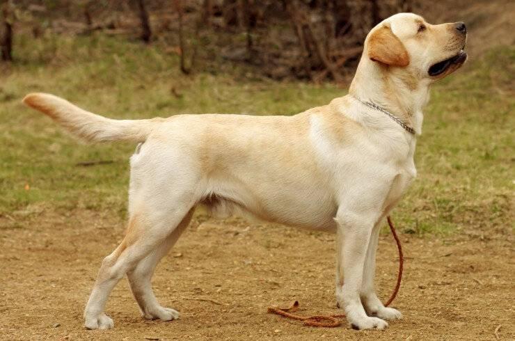 Топ-38 самых сильных и мощных пород собак в мире (+ фото)