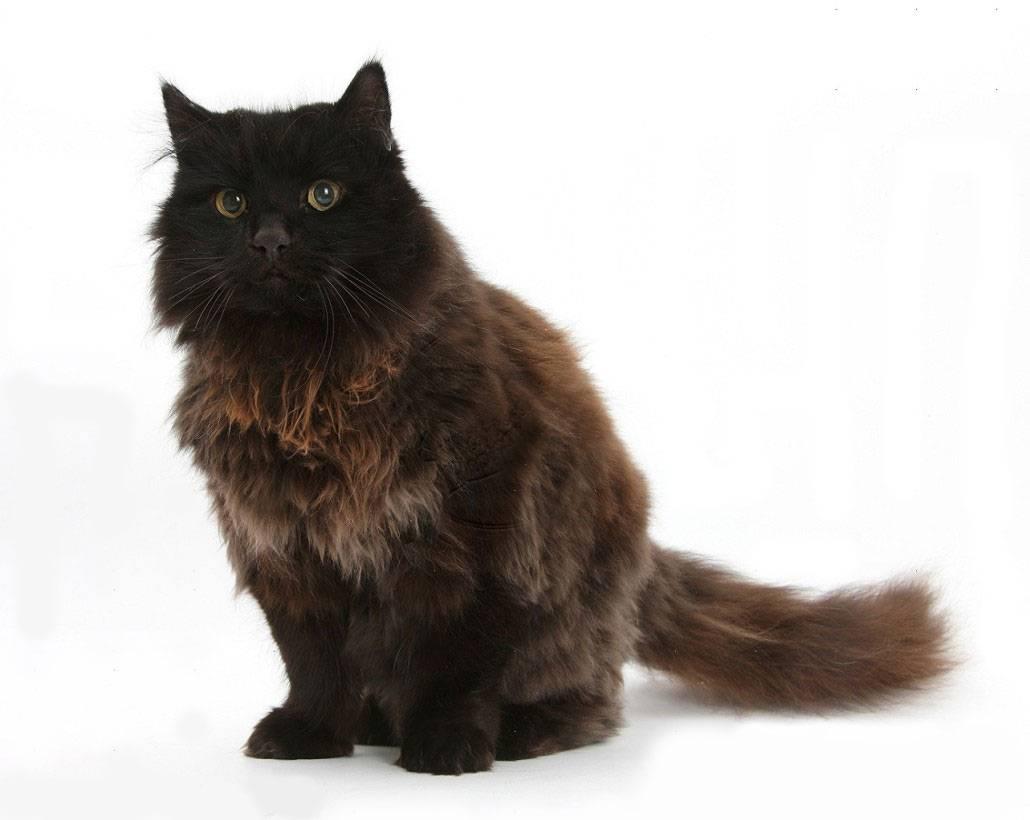 Йоркская шоколадная кошка: описание породы и характера