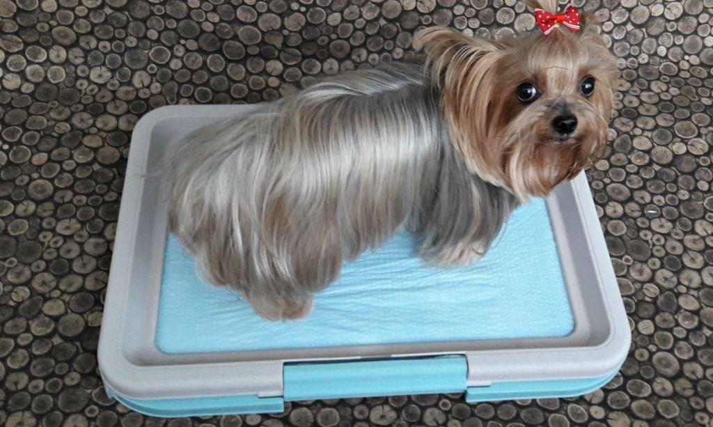 Как приучить щенка ходить в туалет на пеленку — этапы обучения