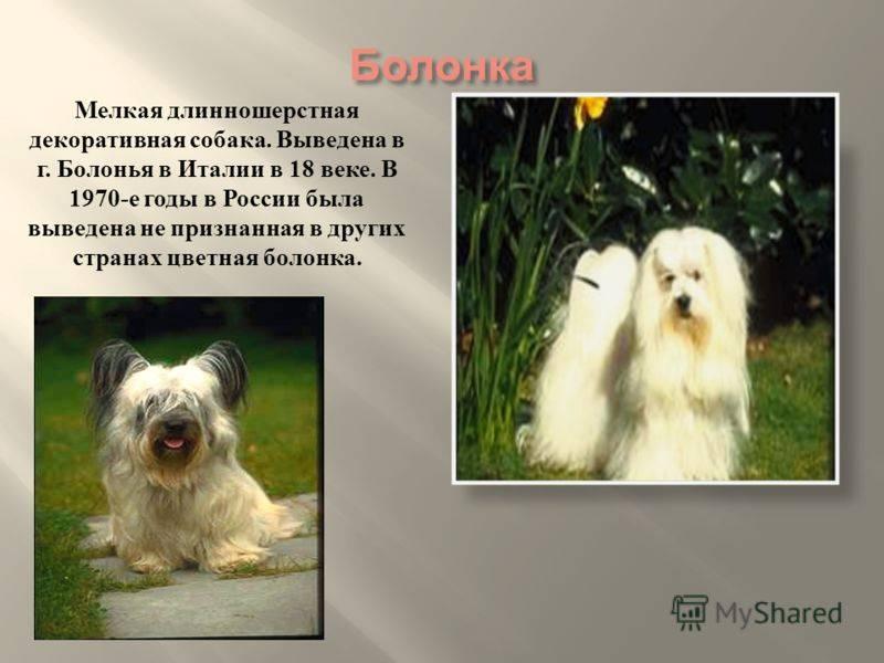 Русская цветная болонка: непризнанная красота
