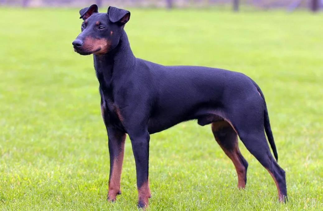 Манчестерский терьер manchester terrier. стандарт породы. содержание, кормление, уход за шестью, зубами, когтями, подготовка к выставке, вязка. фото.