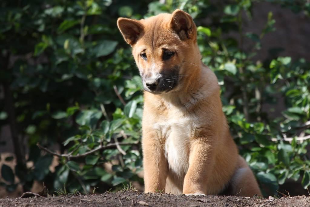 Собака новогвинейская поющая — canis lupus hallstromi