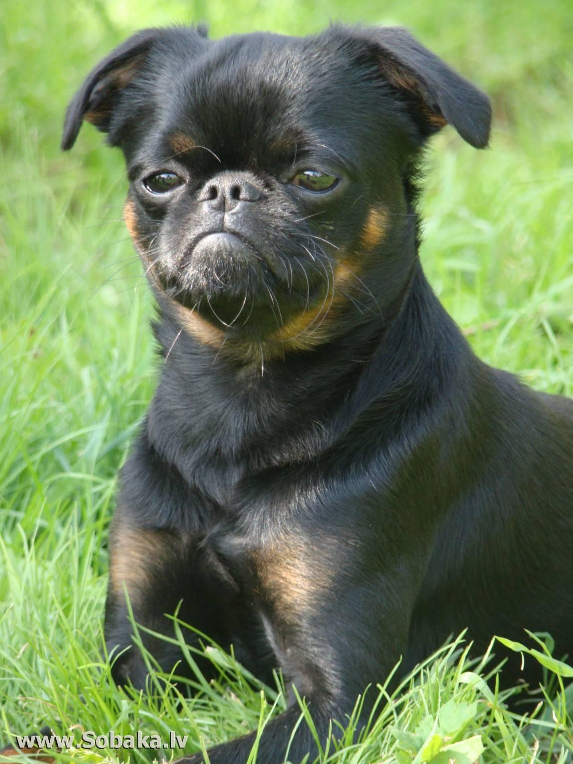 "Гриффон — характеристика породы собак | | блог ветклиники ""беланта"""