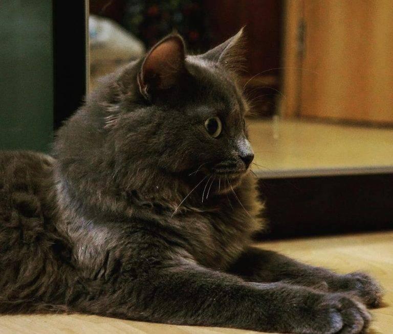 Нибелунг: стандарты внешности породы серебристого кота, уход и забота за питомцем