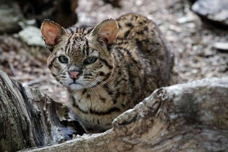 Жоффруа (кошка): фото и описание