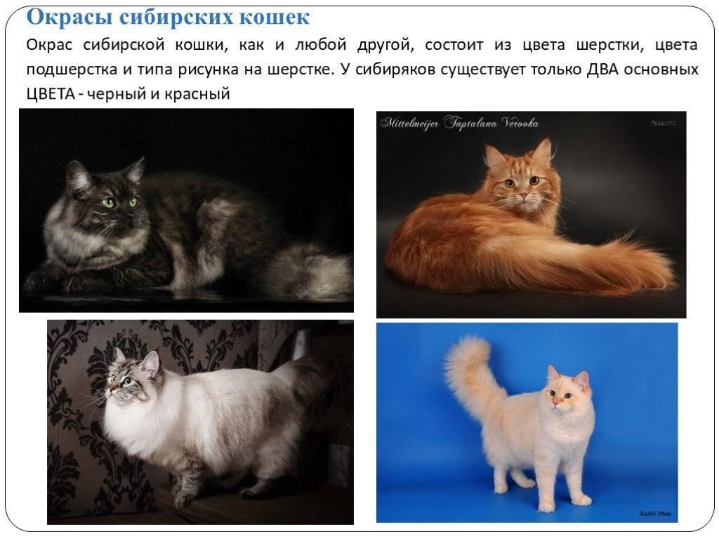 Все о черных породах кошек: окрас, цвет глаз, факты и вымыслы