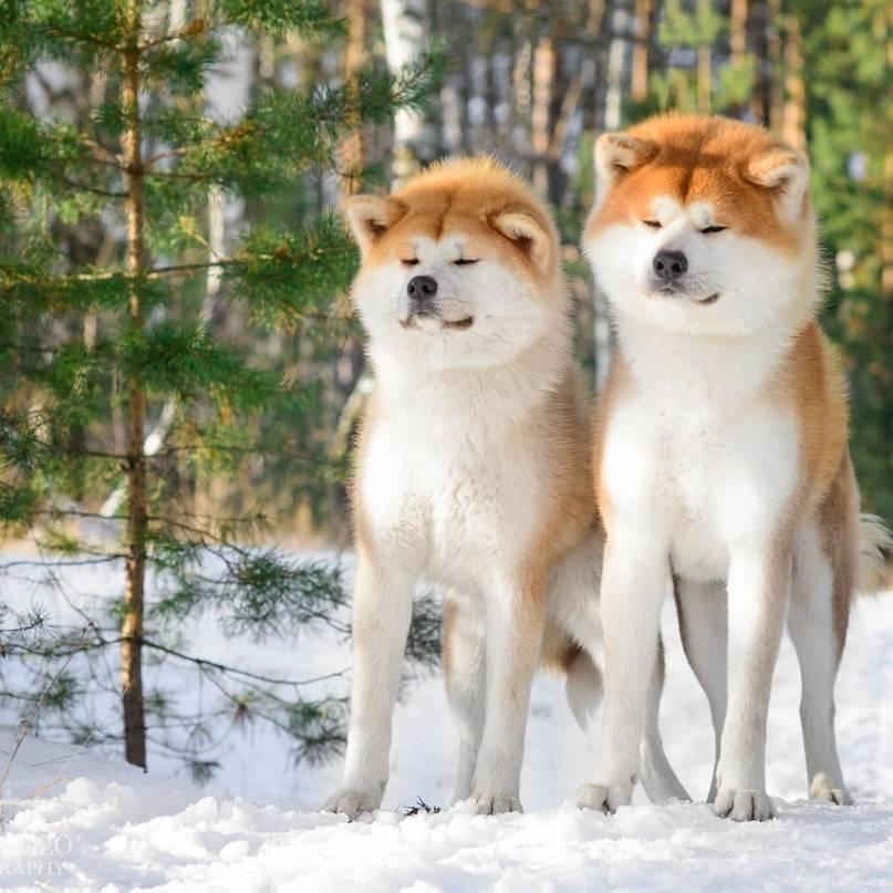 Собака породы американская акита: чем отличается от«ину», икак выбрать «самого верного пса»