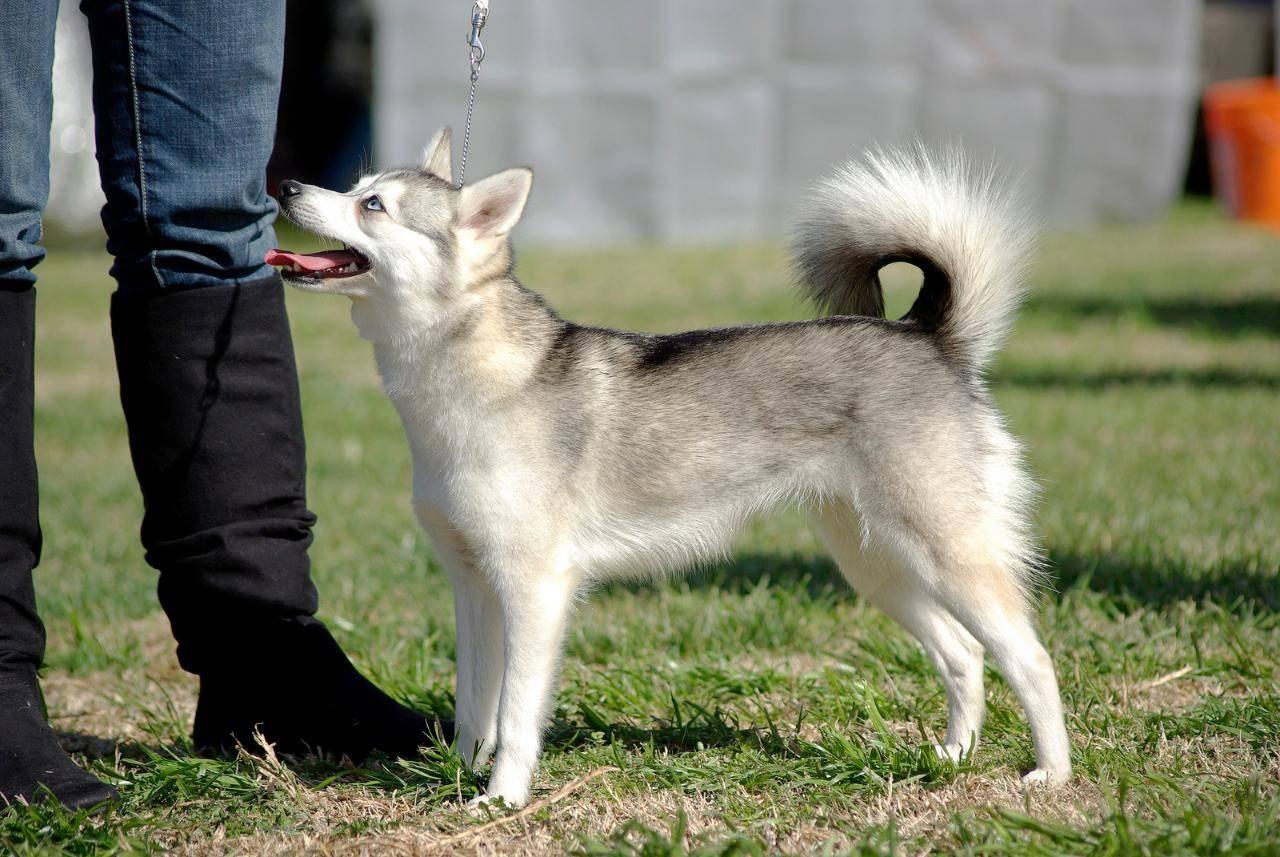 Самые похожие на хаски породы собак, но маленькие или очень крупные