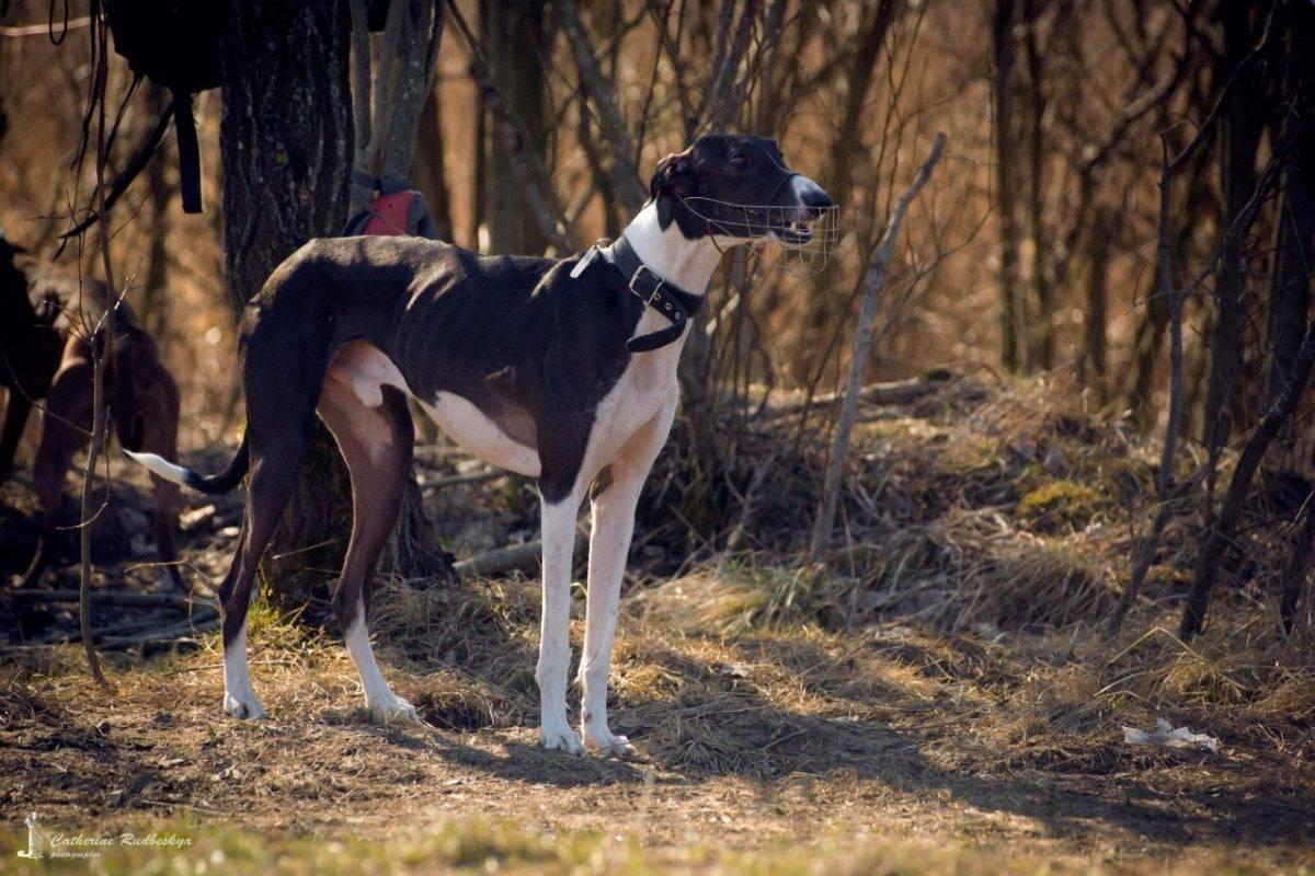 Порода собак хортая борзая: описание, характер собаки, видео, фото