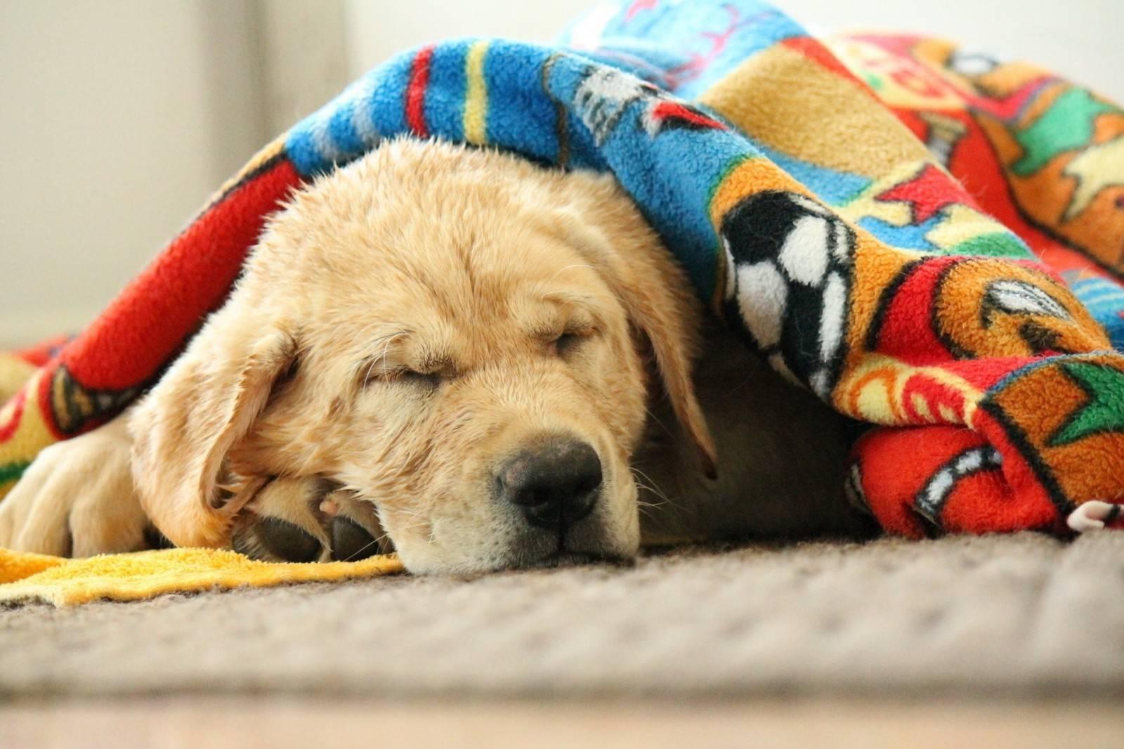 Возможные причины вялости у собак