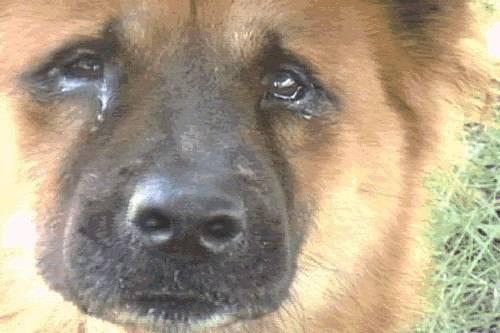 Могут ли собаки плакать от боли и грусти