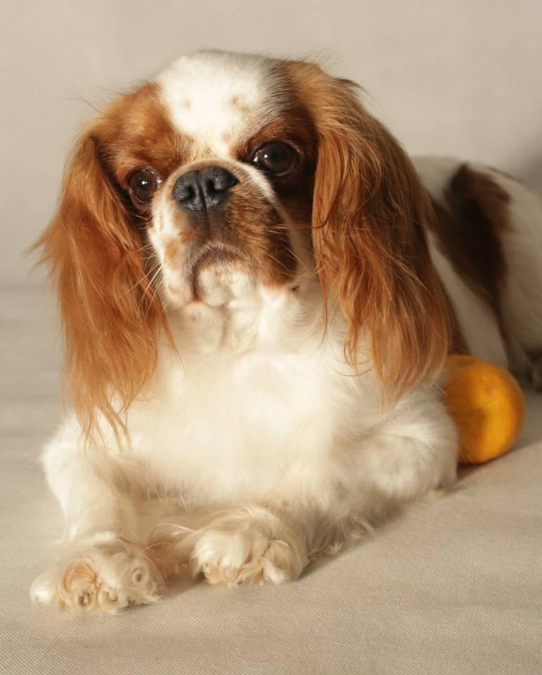 Кинг-чарльз-спаниель (королевский): характер, порода собак, фото, чем отличается