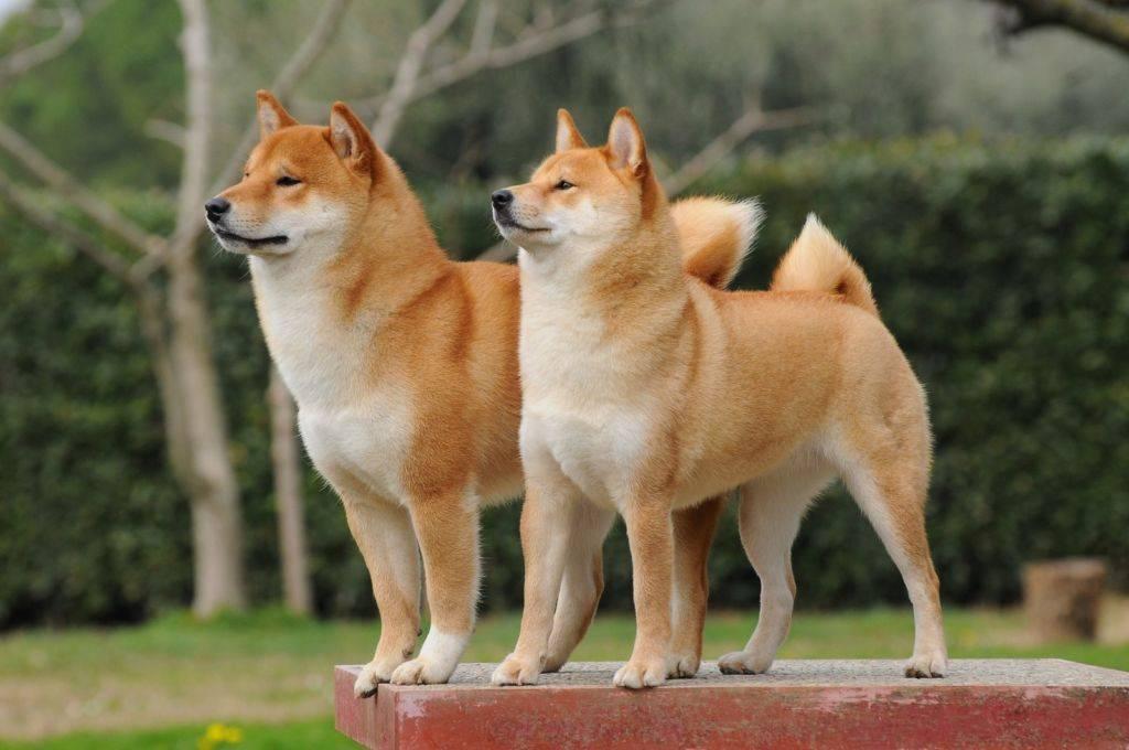Японские породы собак: обзор всех представителей (+ фото)