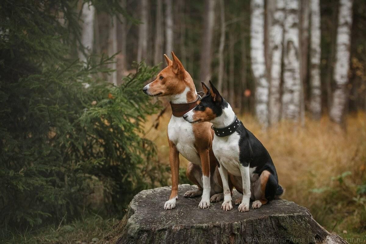 Породы собак, которые почти не лают
