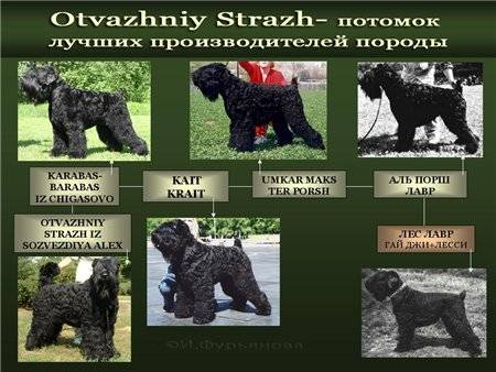 Черный терьер: 100 фото происхождения и секреты простого содержания собаки