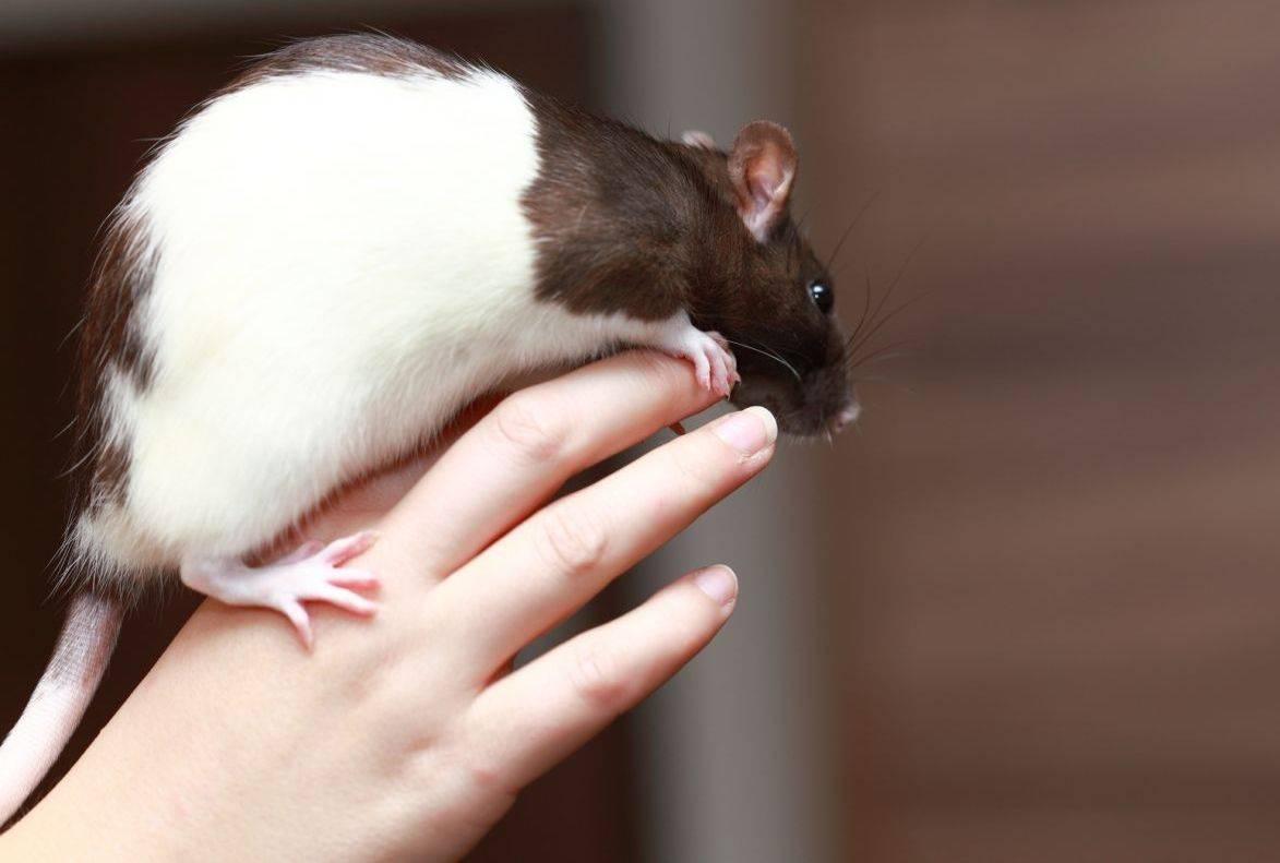 Инфекционные и паразитарные заболевания домашних крыс, опасность для человека