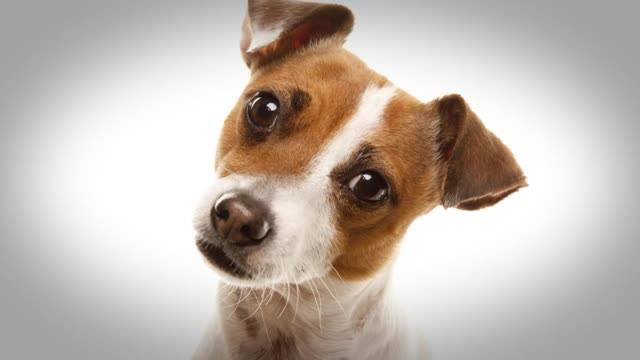 Почему собаки наклоняют голову в бок