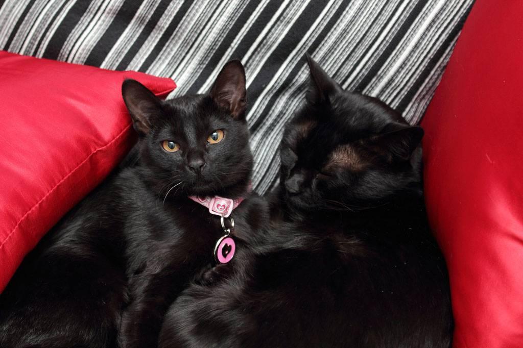 Бомбейская кошка — описание породы, содержание и особенности ухода (видео + 125 фото)