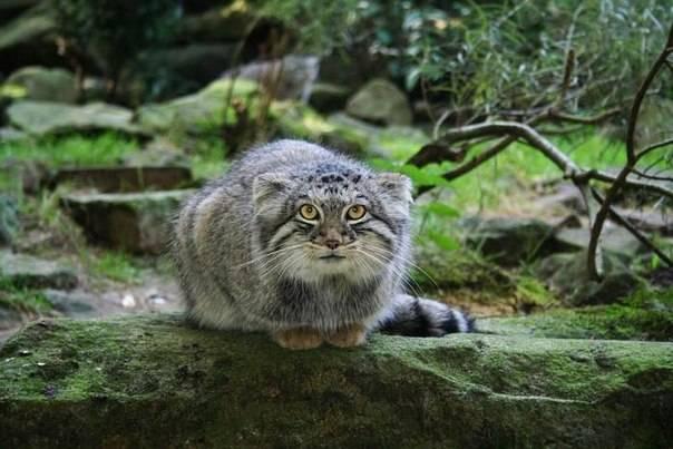 Манул – красивая дикая кошка