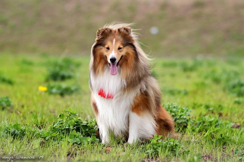 Колли (шотландская овчарка): описание, характеристика и особенности породы