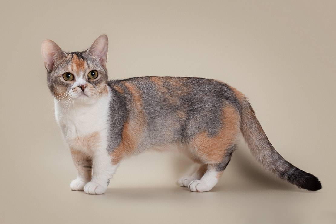 Манчкин (коротколапая кошка): описание породы, характер, отзывы c фото