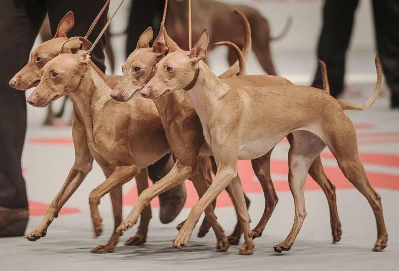 Чирнеко дель этна — описание породы собак