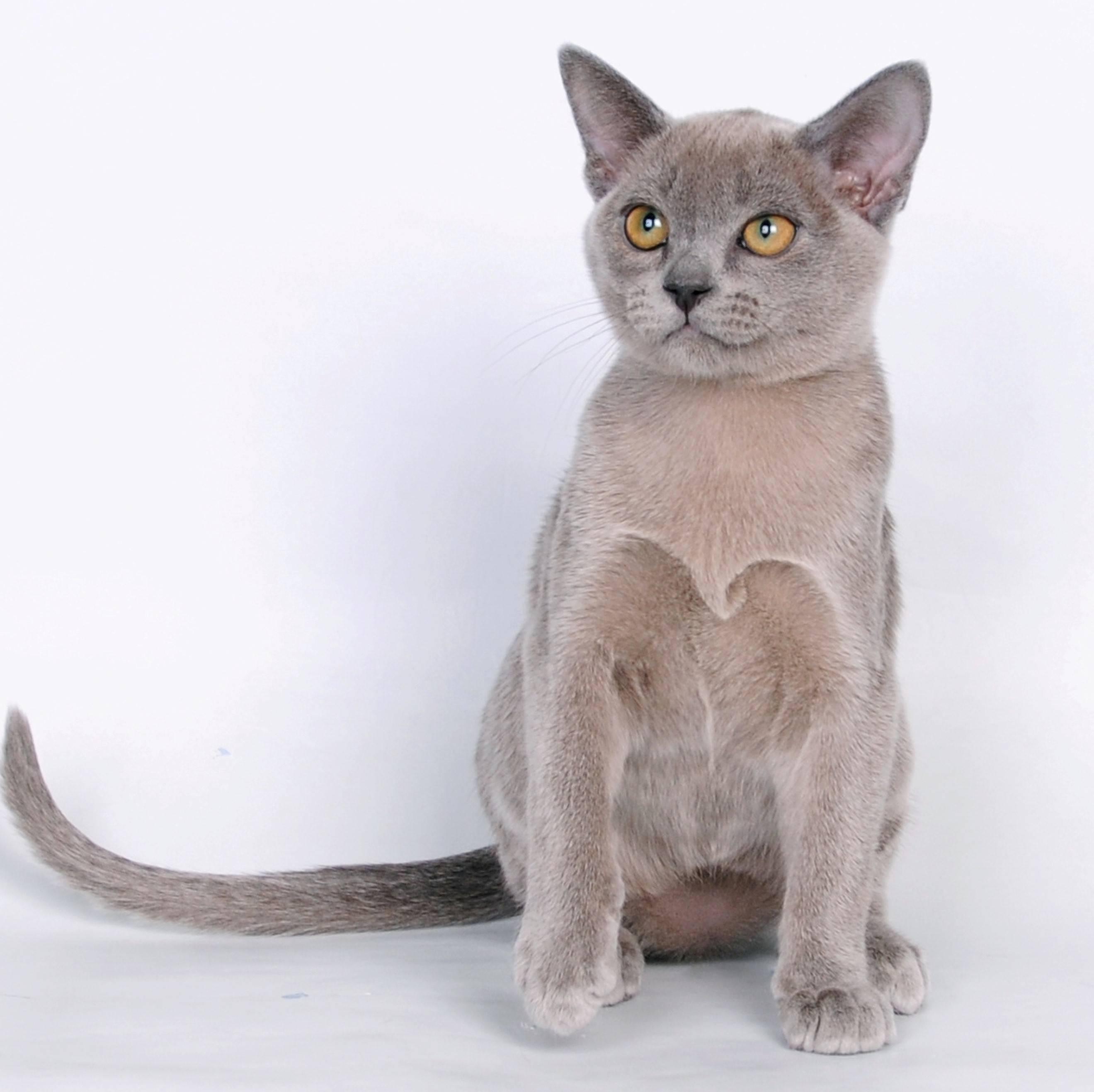Породы кошек: 80+ пород с названиями и фотографиями