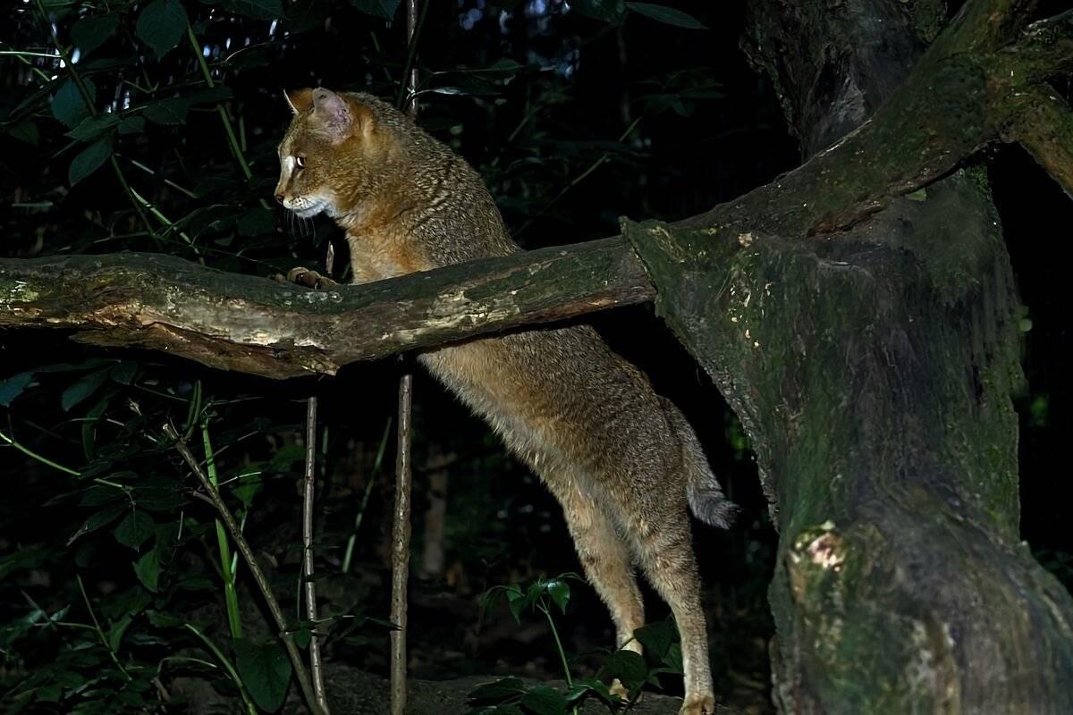 Камышовый кот: камышовая кошка, болотная рысь, хаус.felis chaus guldenstaedt = камышовая кошка, болотная рысь, хаус. кошачьих