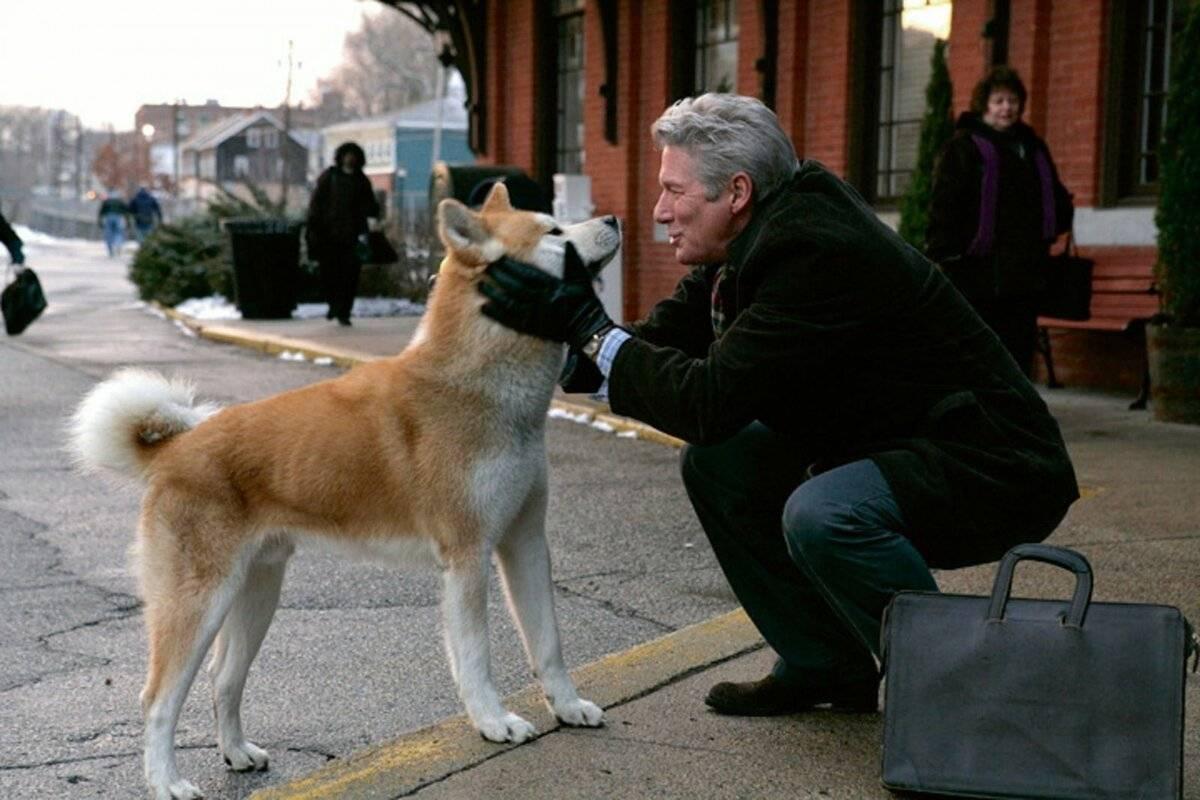 Собака породы акита-ину, которая снималась в «хатико»