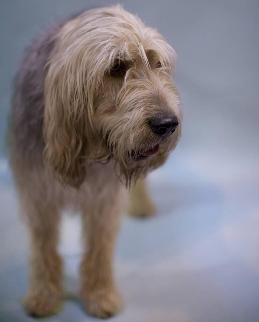 Оттерхаунд (выдровая гончая) — фото, описание породы собак, характера, особенностей