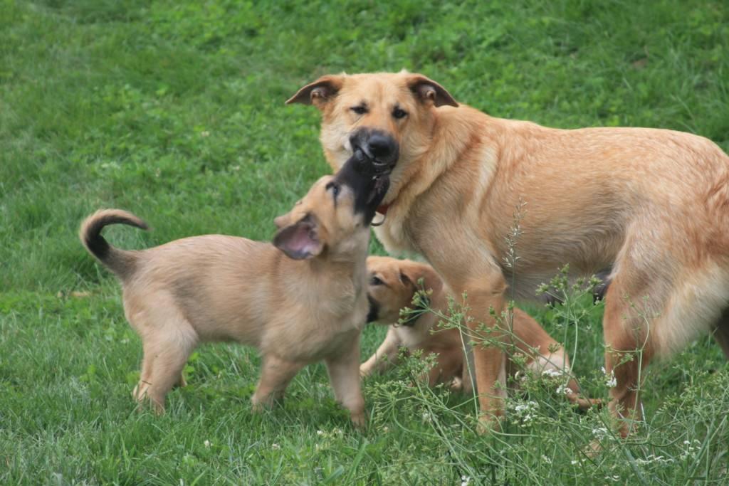 Чинук (26 фото): что это за собака? описание особенностей породы и основных правил ухода