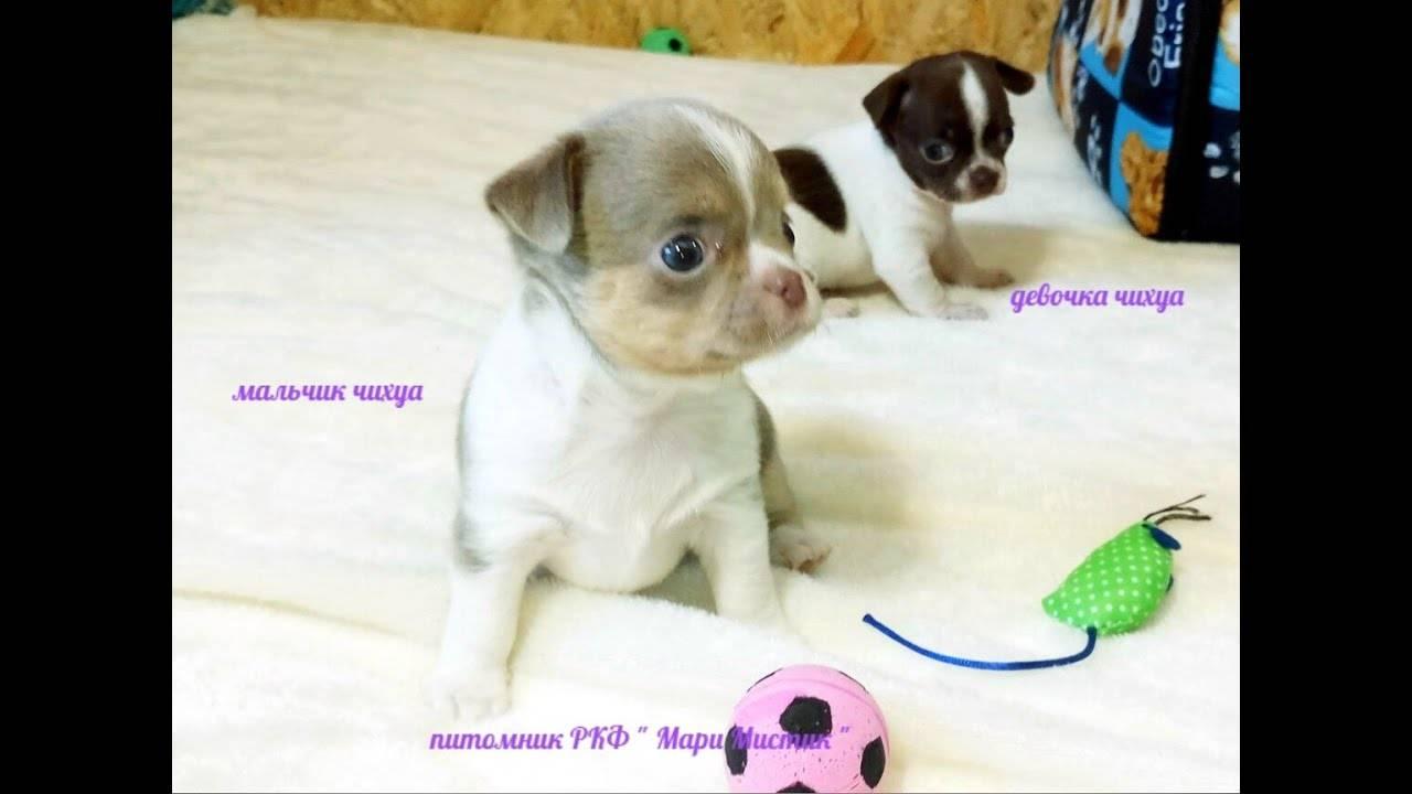 Пиометра у собак. причины и лечение.
