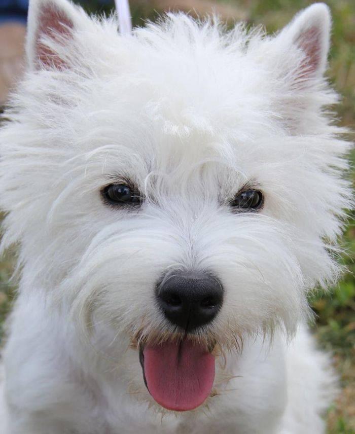 Собака вест хайленд уайт терьер: описание породы и характер вестхайлендского белого терьера