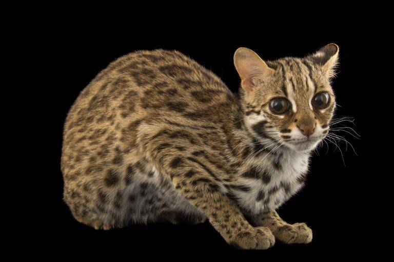 Леопардовая кошка - фото, описание породы - kotiko.ru