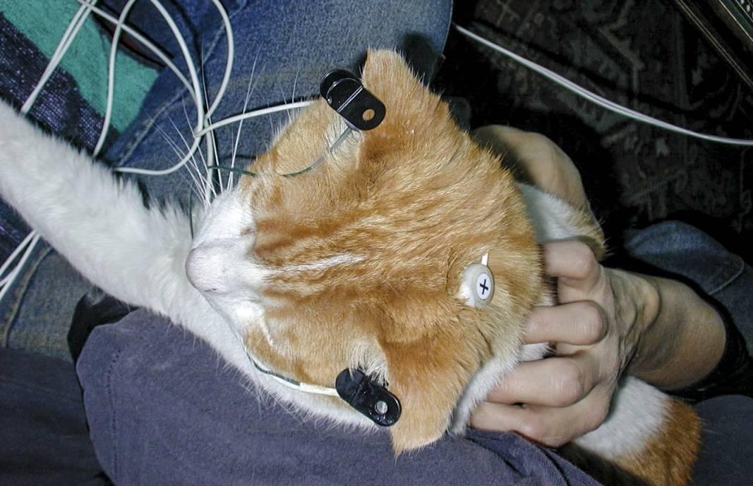 Эпилепсия у кошек [экстренная первая помощь]: лечение и профилактика
