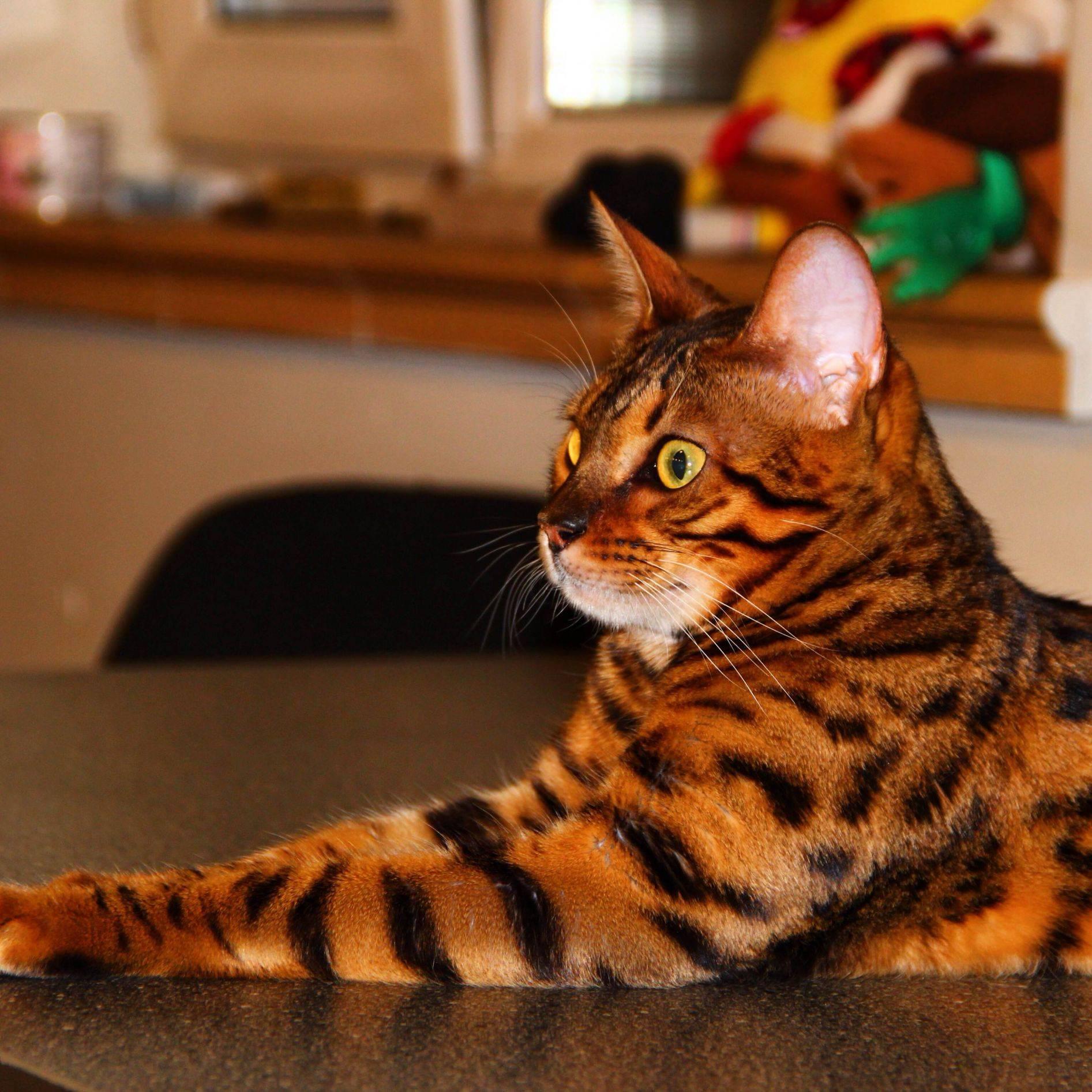 Самые красивые в мире: топ-10 самых популярных пород кошек