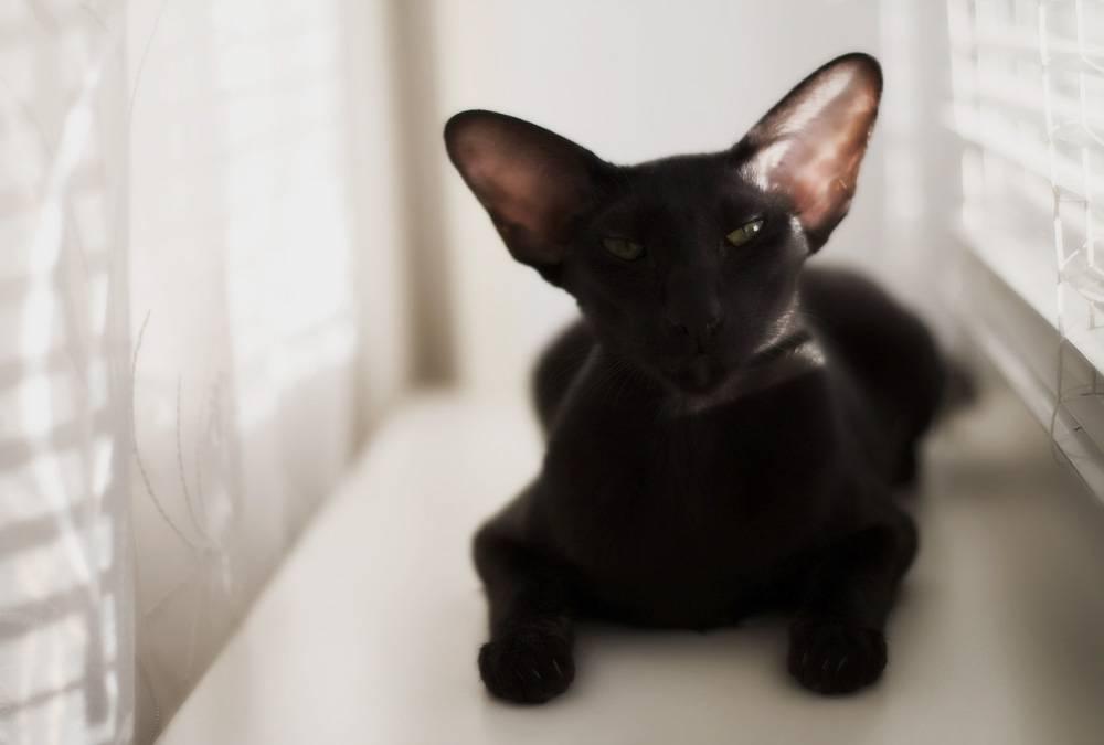 Самые умные породы кошек: топ 20