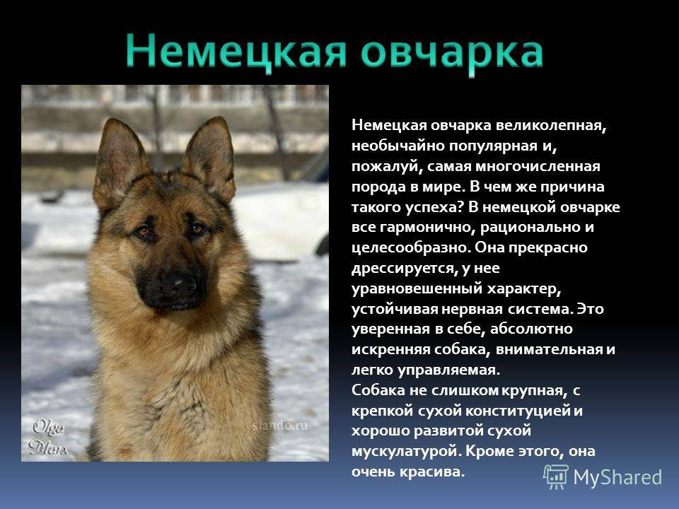 Московская сторожевая собака. описание, особенности, уход и цена породы