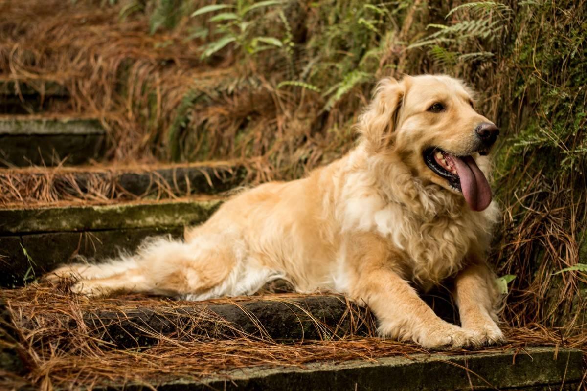 Золотистый ретривер: описание породы и характеристика | собаки мира