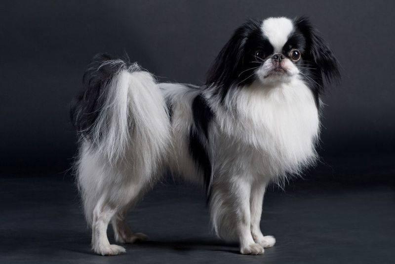 Описание породы собак японский хин с отзывами владельцев и фото