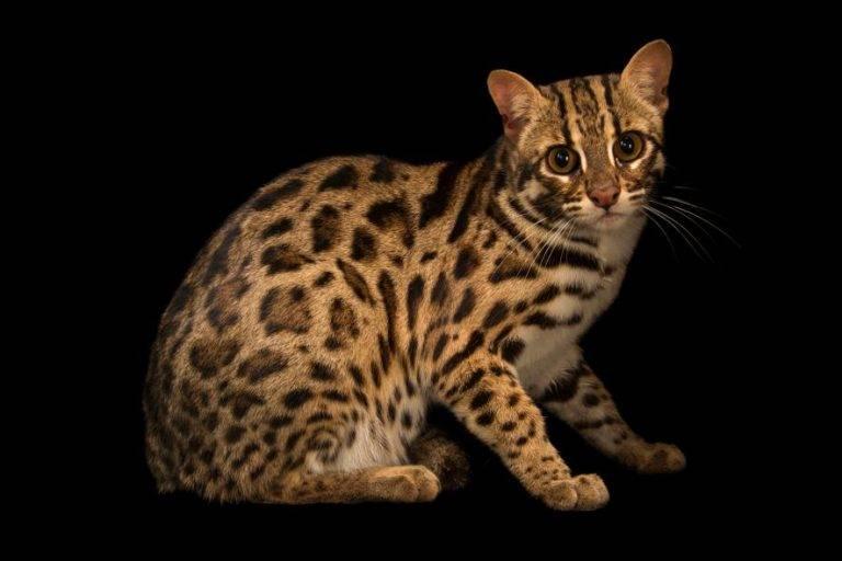 Леопардовая кошка – фото, описание породы