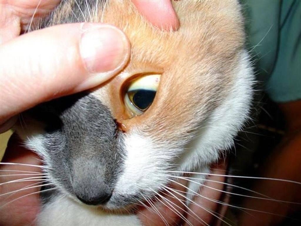 Болезни печени у кошек (гепатит, гепатоз, цирроз, холецистит): симптомы и лечение