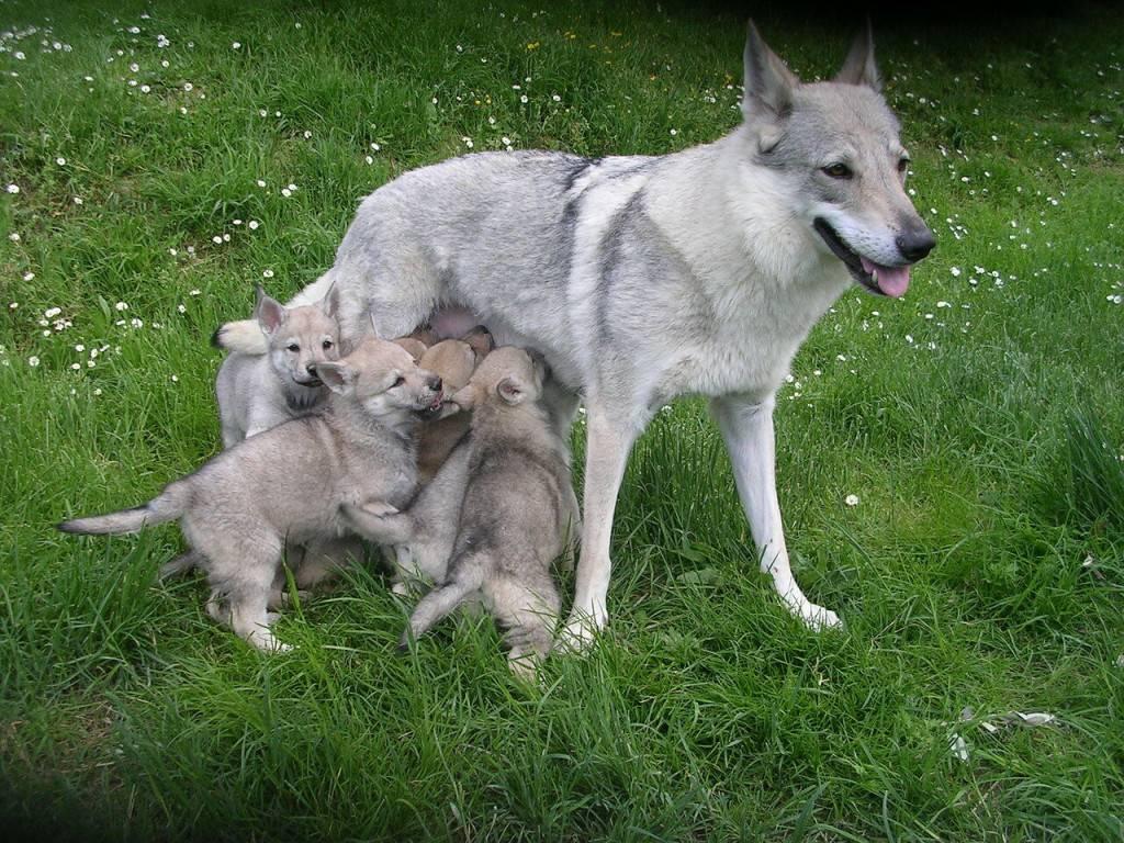 Помесь лисы и собаки — возможен ли такой метис