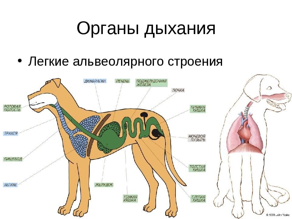 От чего может появляться хрюканье у собаки: причины странных звуков при дыхании