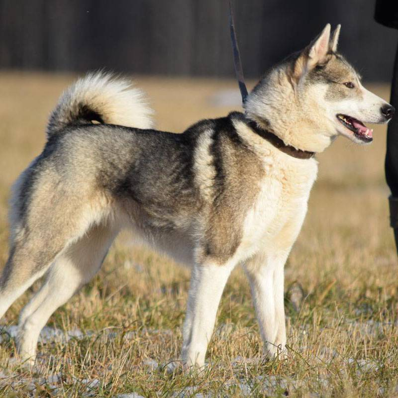 Порода собак сибирская лайка: отличия восточносибирской от западносибирской