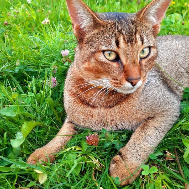 Чаузи кошка. особенности, цена и уход за породой чаузи | животный мир