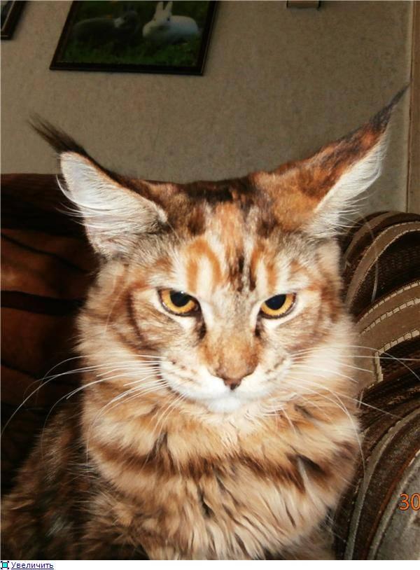 Особенности пород кошек, похожих на рысь, уход за ними и кормление