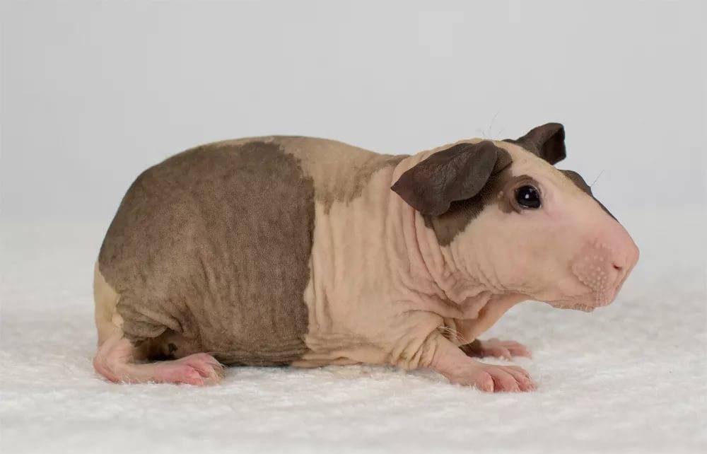 Морская свинка скинни и болдуин: лысые морские свинки - goldy-woman.com - женский сайт