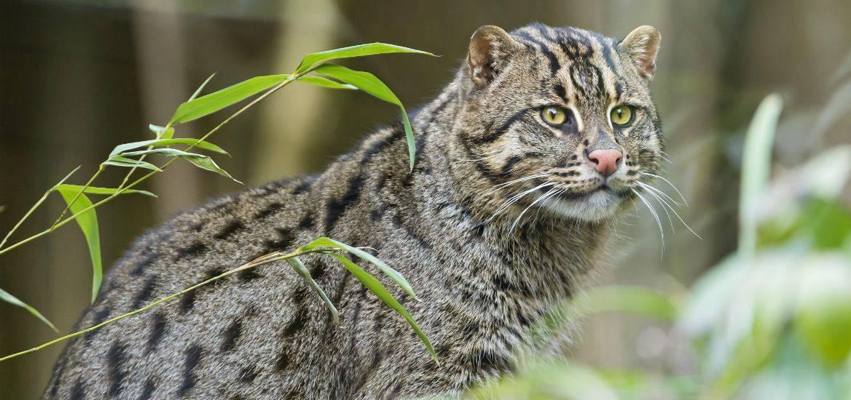 Камышовый кот, болотная рысь, или хауси – внешний вид, содержание и другие характеристики дикой кошки